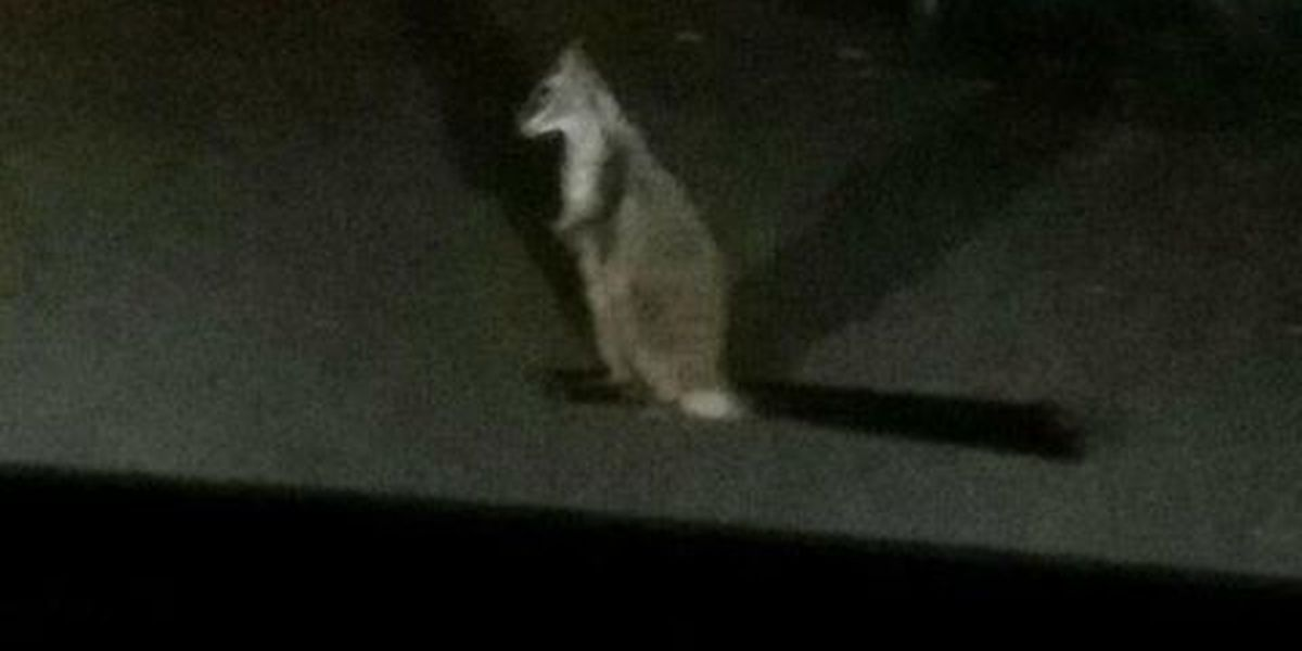 Spotted: Elusive wallaby makes rare appearance in Moanalua