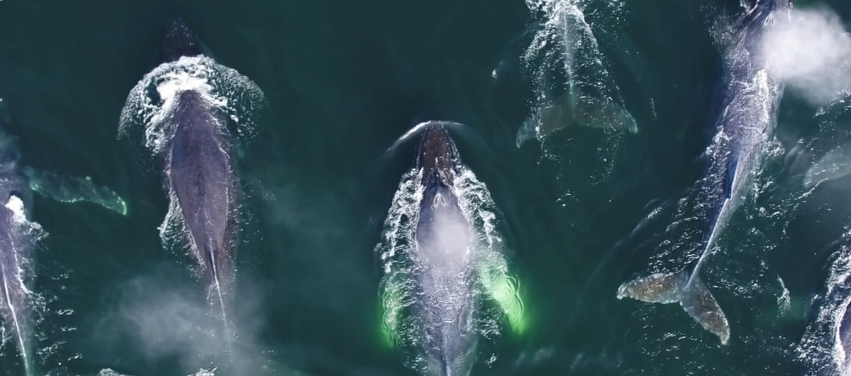 Incredible drone footage captures humpback whales' behaviors