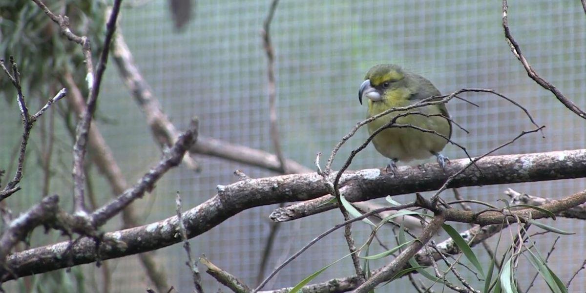 New effort afoot to save an endangered Native Hawaiian bird on Maui