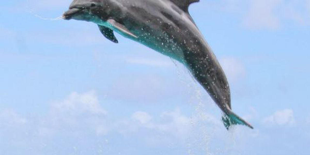 Kamoana, the 'grandpa' dolphin at Sea Life Park, dies after sudden decline in health