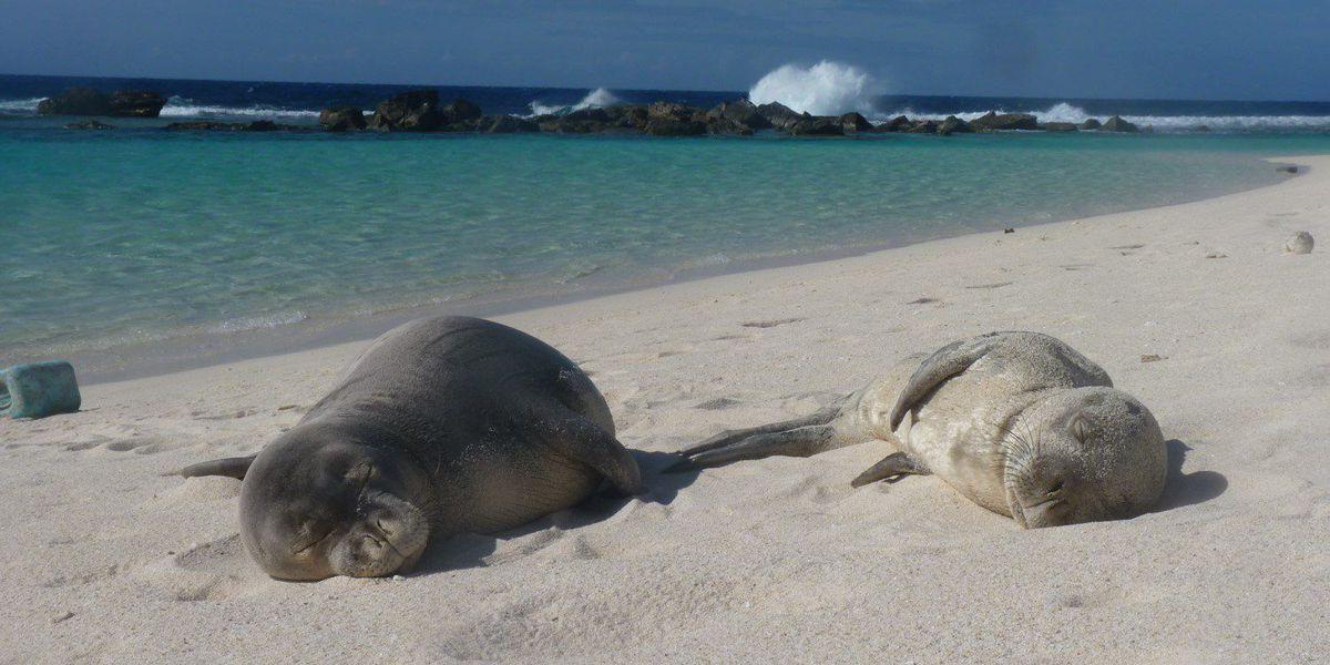 4 malnourished Hawaiian monk seals taken to hospital