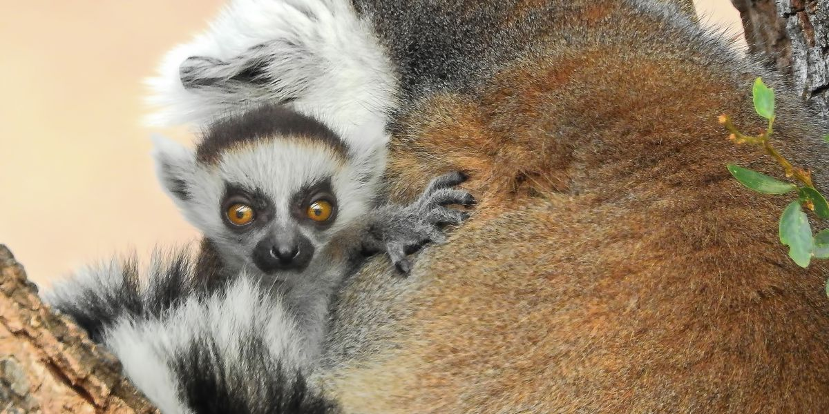 Endangered lemur born at Honolulu Zoo