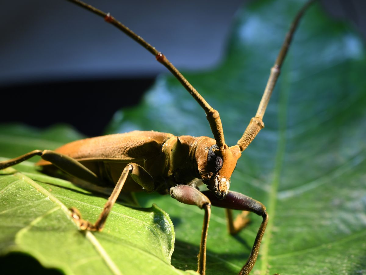 Invasive long-horned beetle from Australia attacking crops in Puna