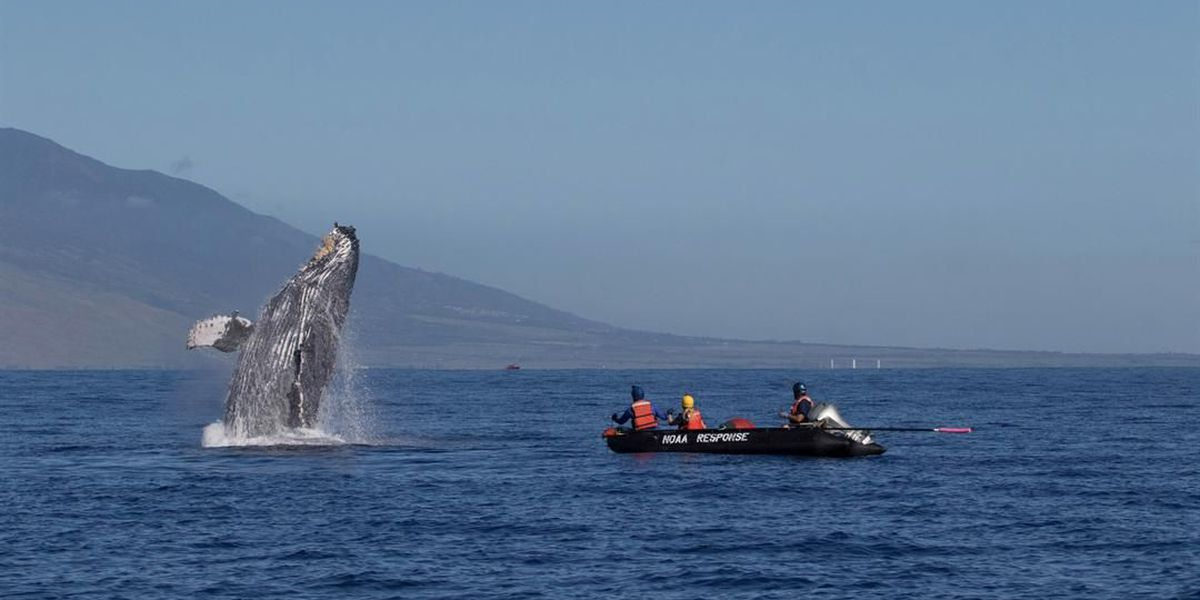 Whale saved from entanglement after 285 feet of rope removed from mouth