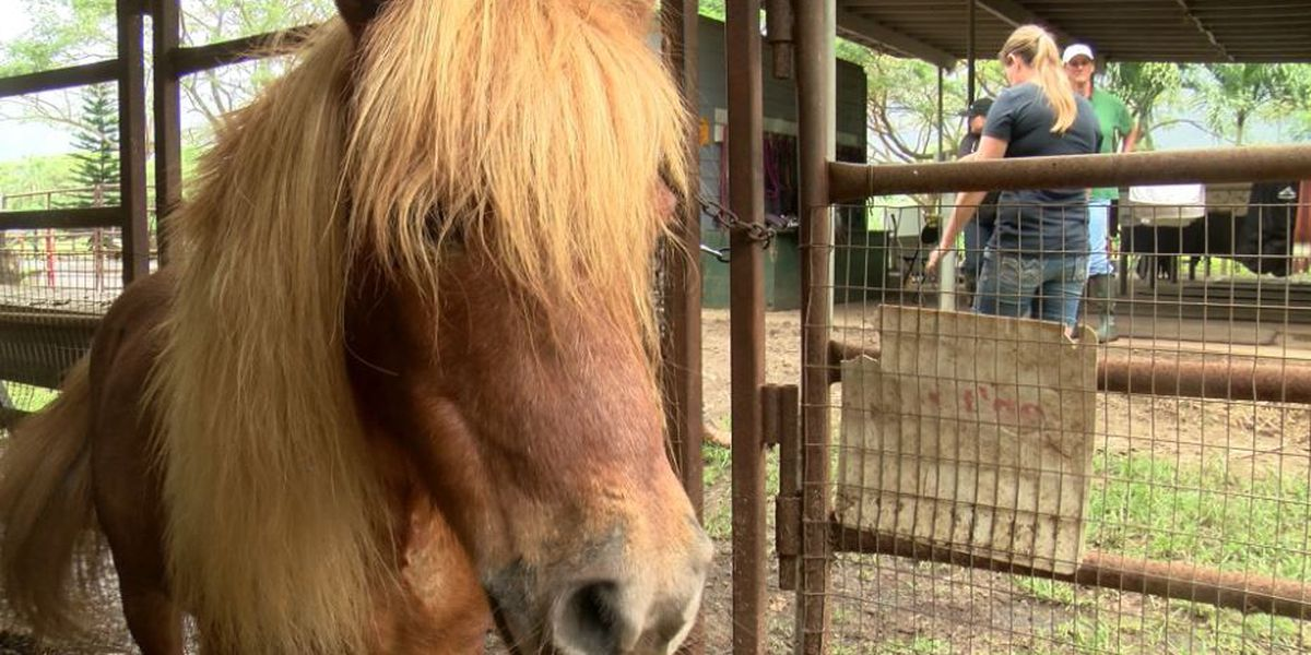 Mini horses, goats rushed to safety in Waimanalo after floods wash through corrals