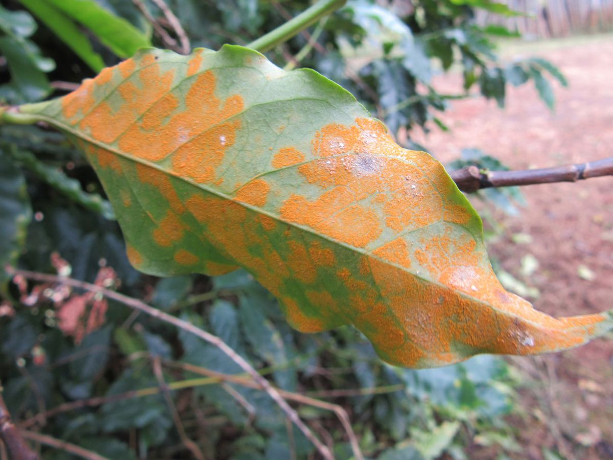 Coffee leaf rust detected in Hawaii for the first time