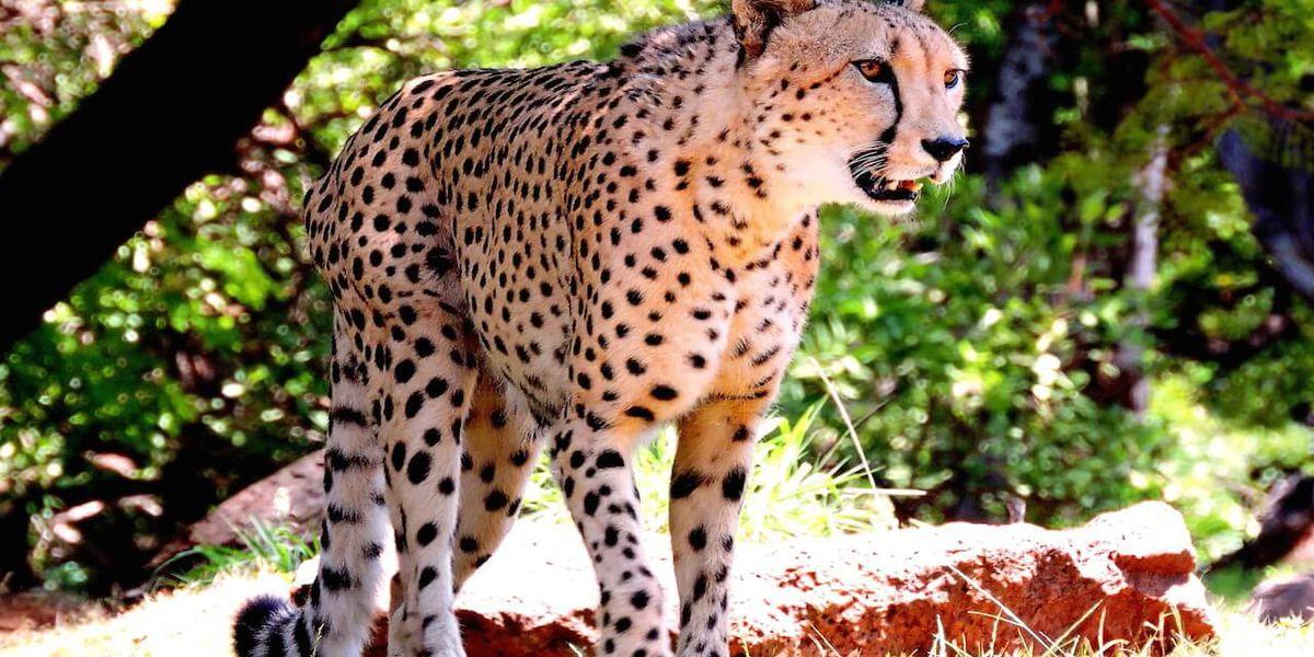 Honolulu Zoo euthanizes its 15-year-old cheetah