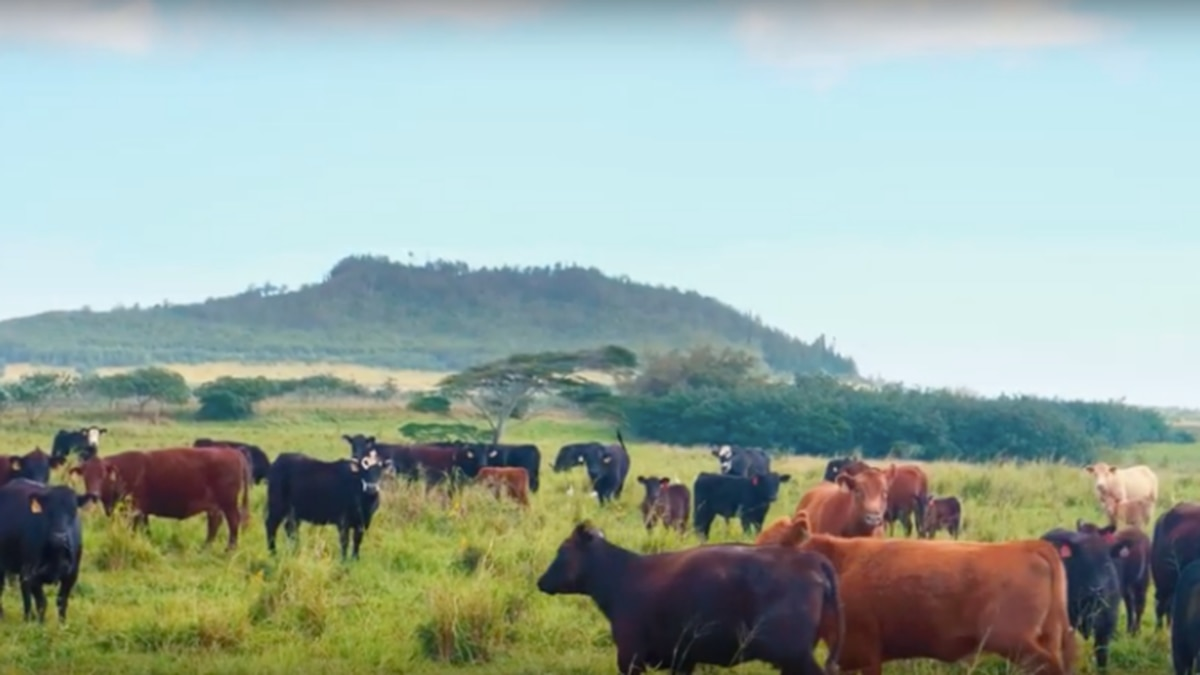Critics: Deaths of 21 cattle on barge bound for Kauai 'cruel and inhumane'