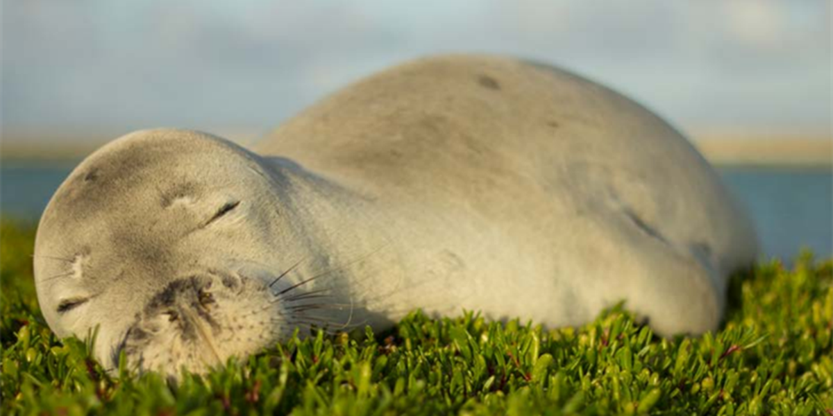 This is the cute Hawaiian monk seal calendar you didn't know you needed (until now)
