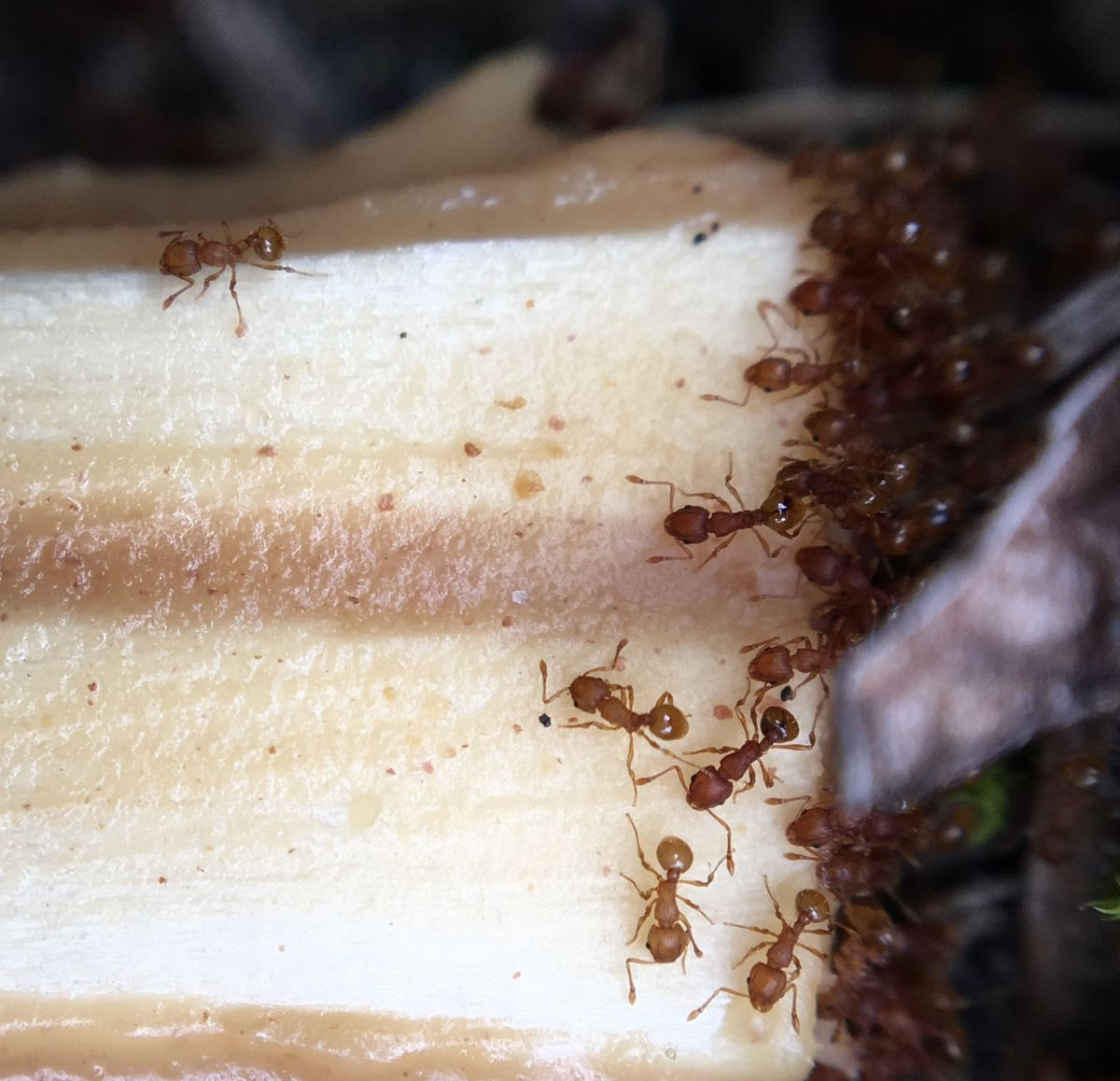 Unwanted visitors: Little fire ants discovered at Hawaii Volcanoes National Park