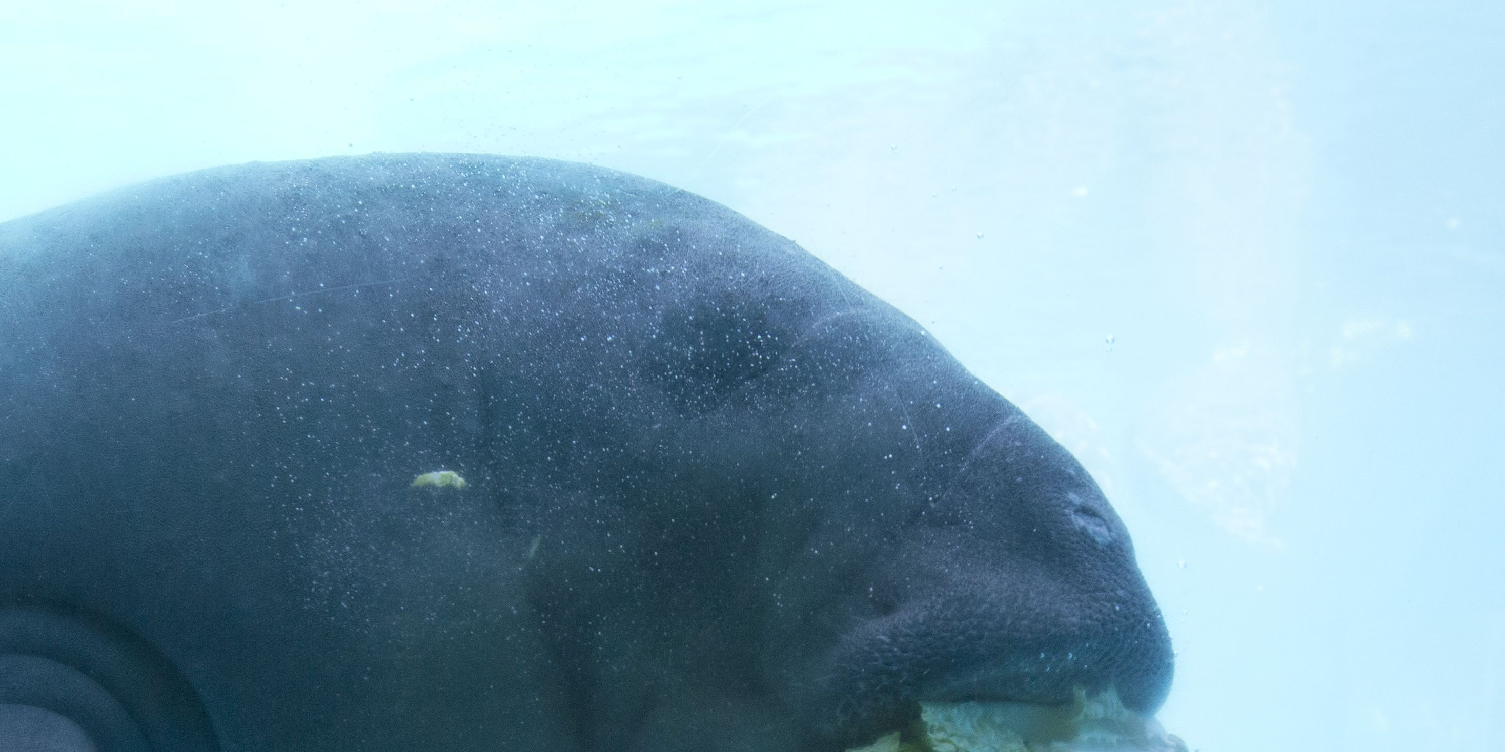 Mama manatee and calf rescued from FL canal after Hurricane Michael