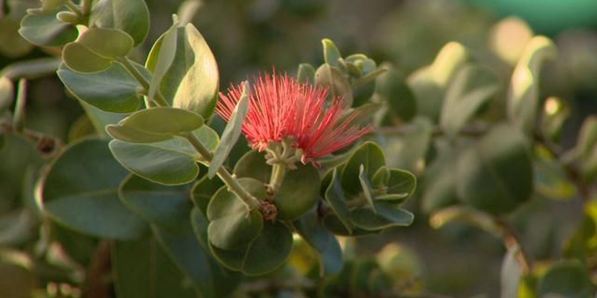 Drones among new tools for researchers fighting Rapid Ohia Death
