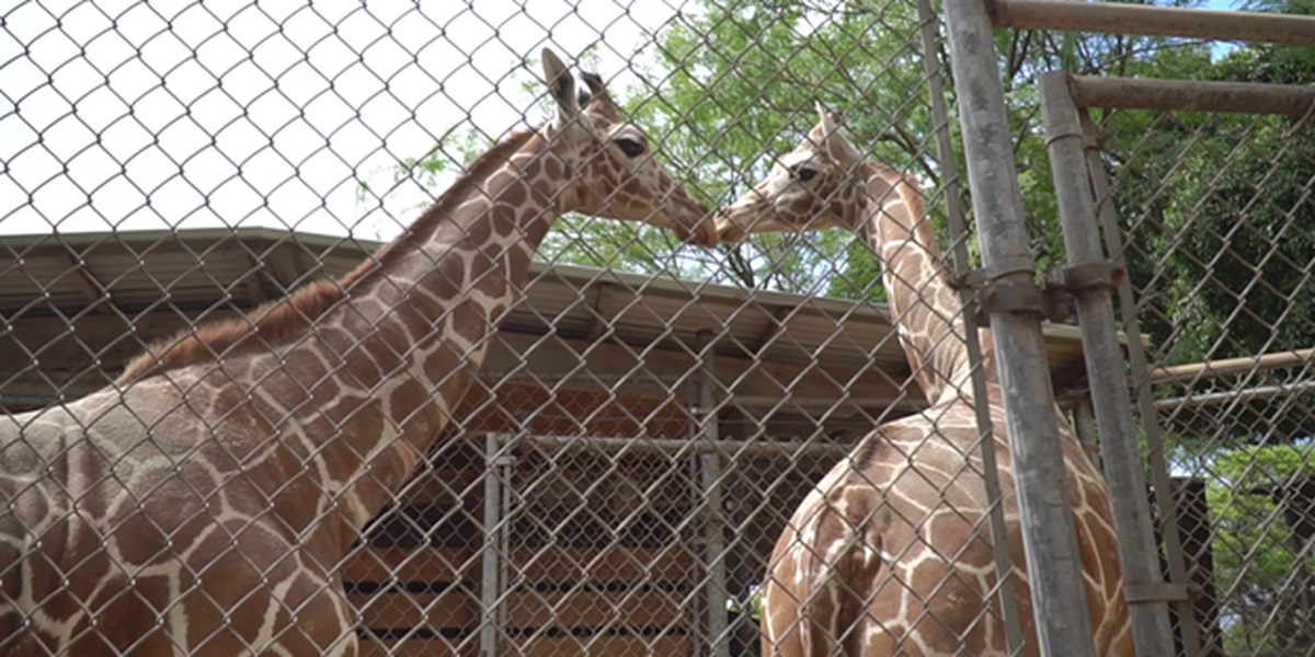 Meet Neelix and Sandi, the Honolulu Zoo's newest residents