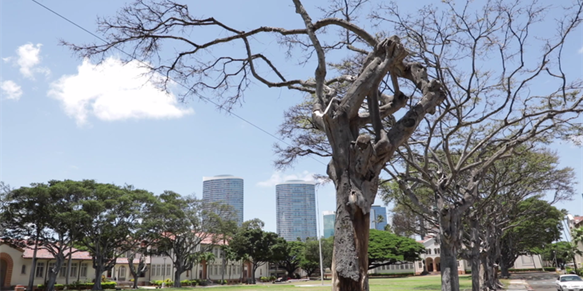 More banyan trees at McKinley High to be cut down due to wasp infestation