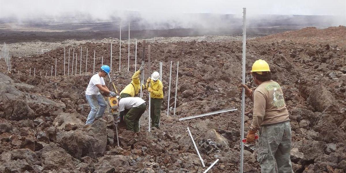 5-mile fence now protects Mauna Loa's Hawaiian petrels