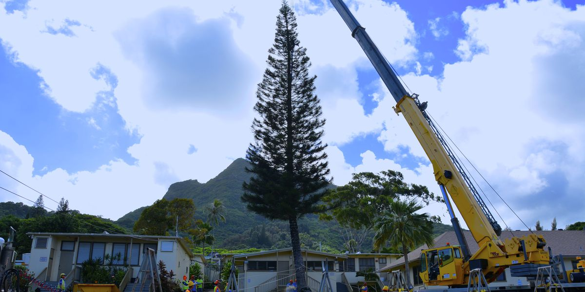 Deck the halls! City harvests 80-foot Norfolk Pine for annual holiday tree