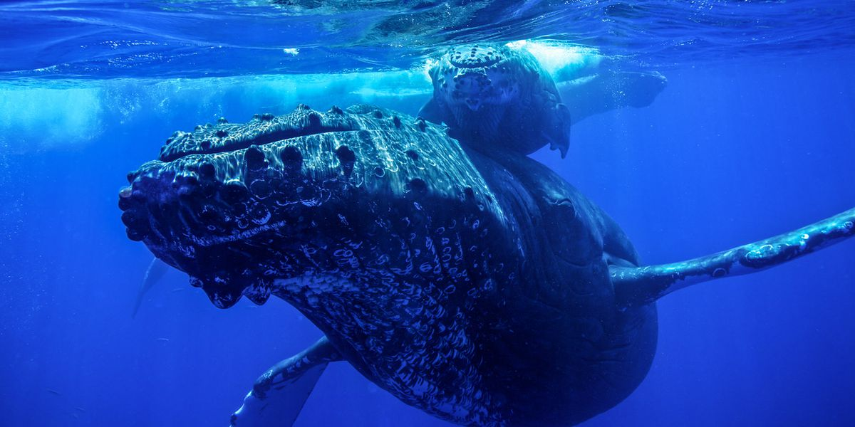 Conservationists urge caution in the water as number of whales injured by boats rise