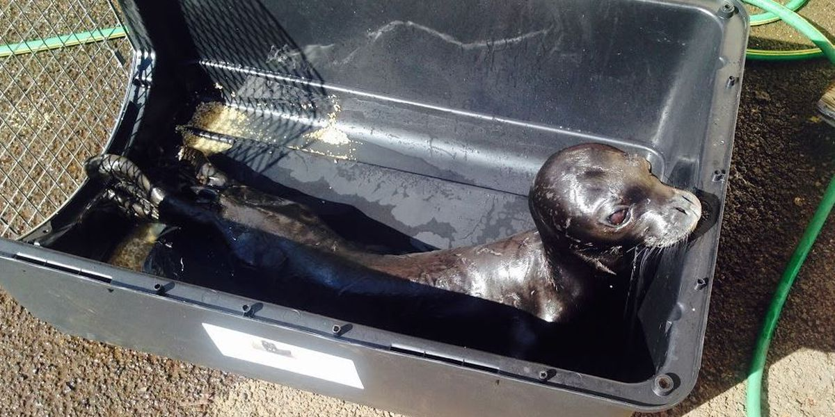 Abandoned monk seal pup taken to Big Island for treatment