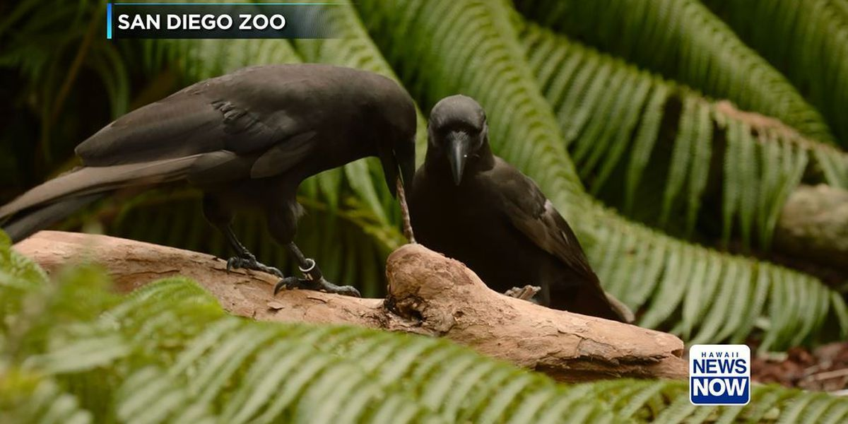 Critically endangered Hawaiian bird has rare ability to use tools