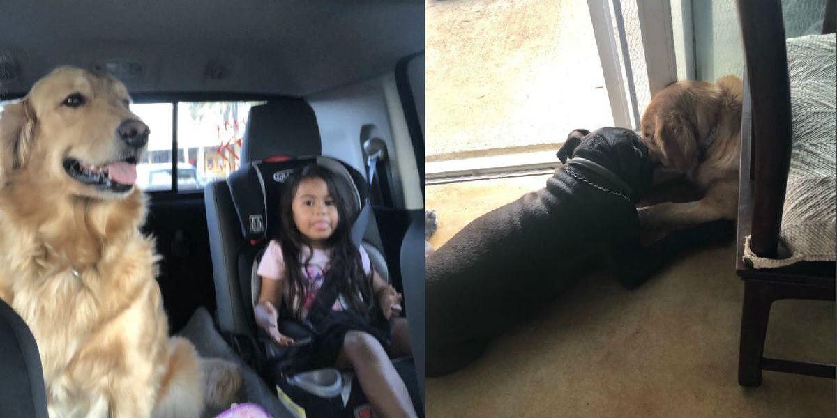 A veteran hopes for the safe return of his pitbull service dog, family's golden retriever