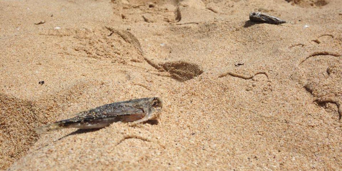 Dead fish wash ashore in Nanakuli