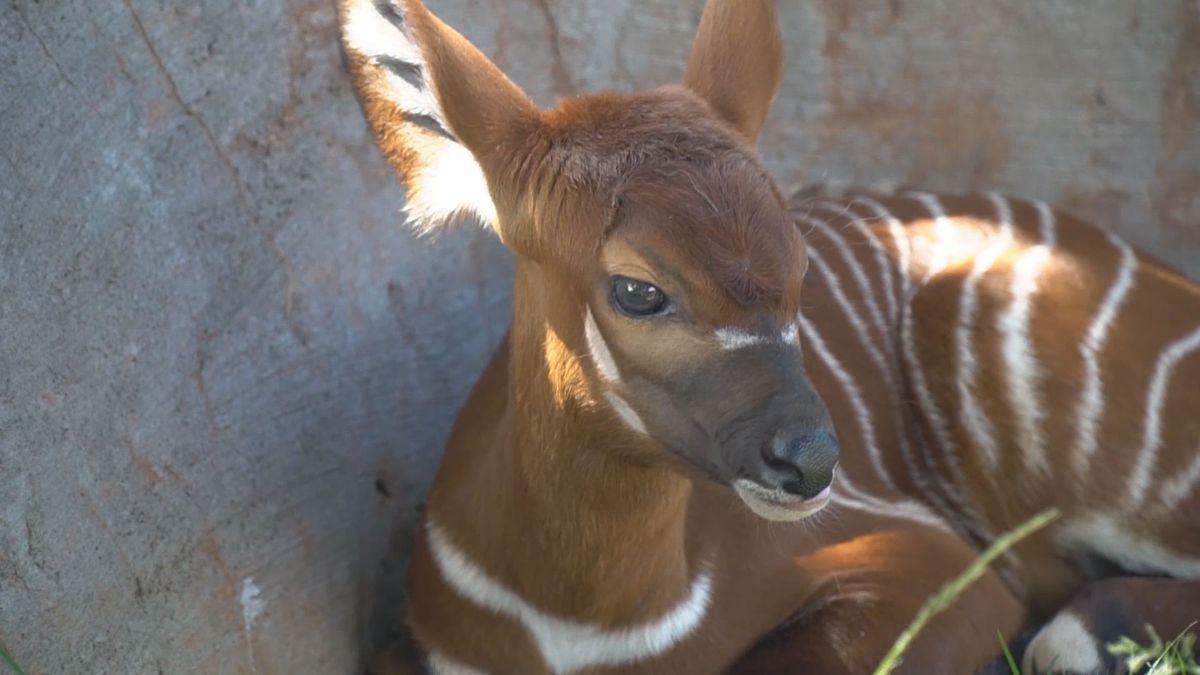 Honolulu Zoo's newest bundle of joy now on display