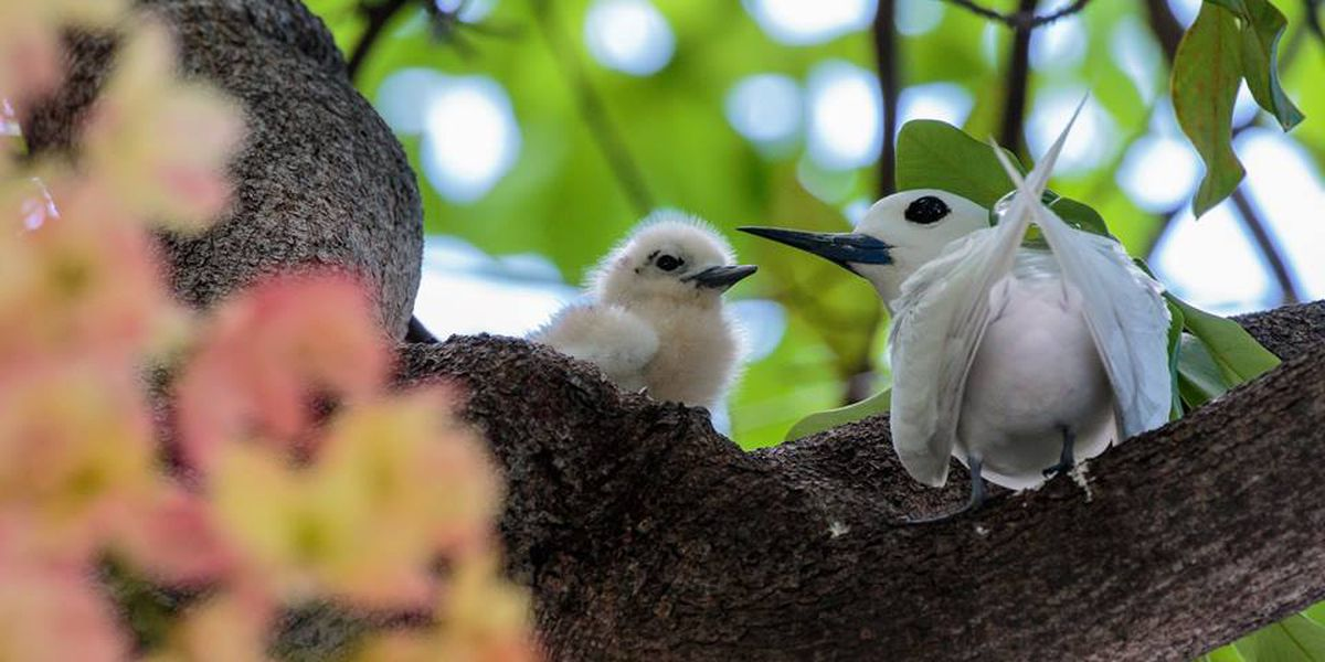 Learn more about Honolulu's official bird with special Downtown walk