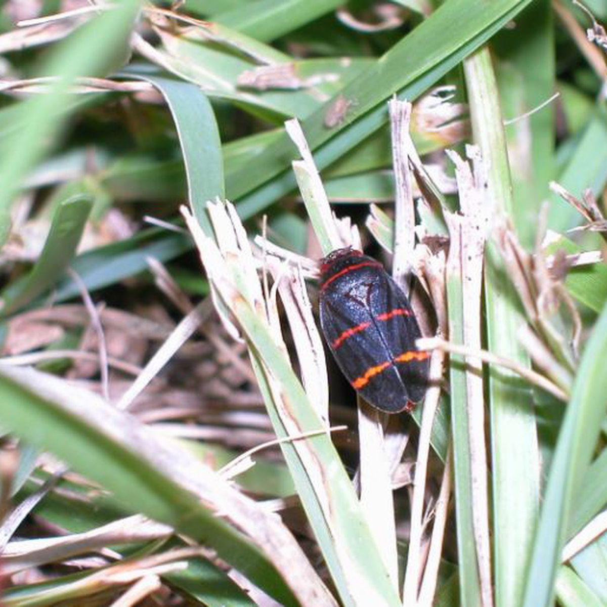 Fingernail-sized spittlebugs are causing big problems for Hawaii Island ranchers