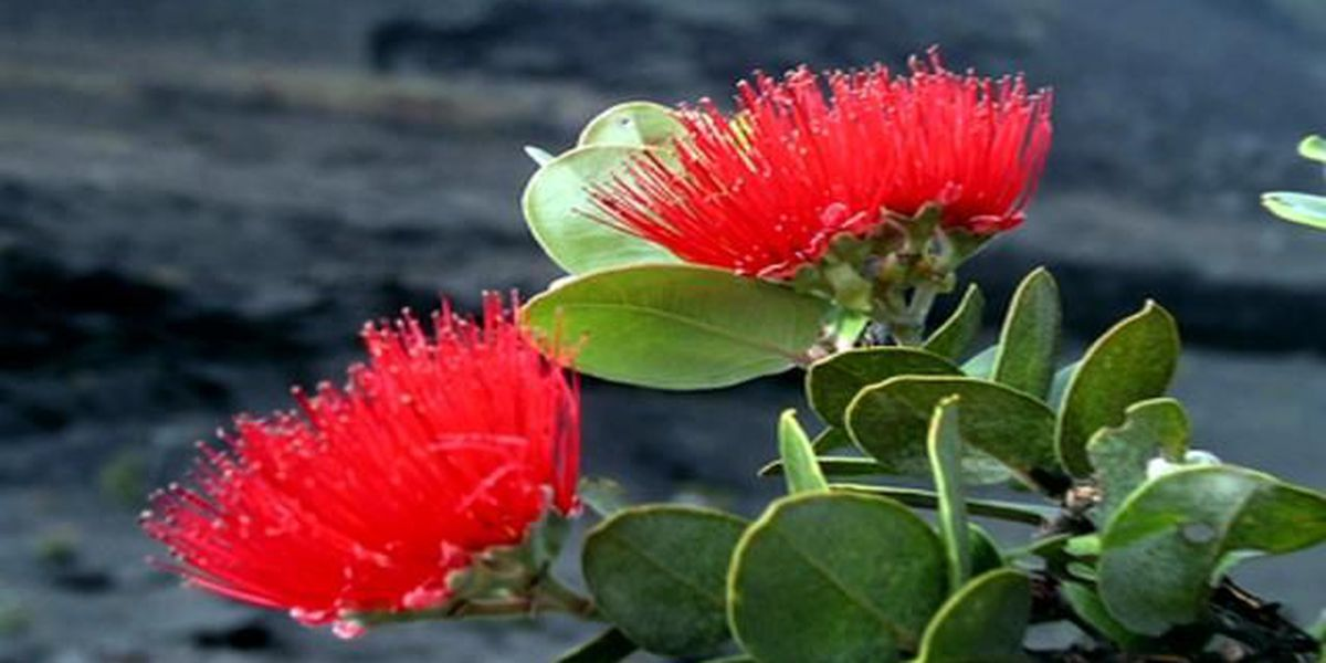UH launches campaign to revive Hawaii's ohia tree population