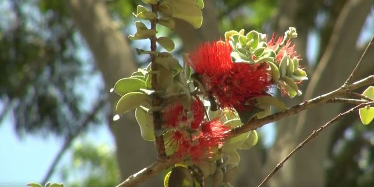 Hawaii students study beetles related to rapid ohia death