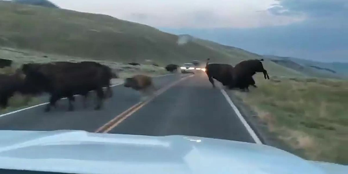 Bison fight in Yellowstone National Park