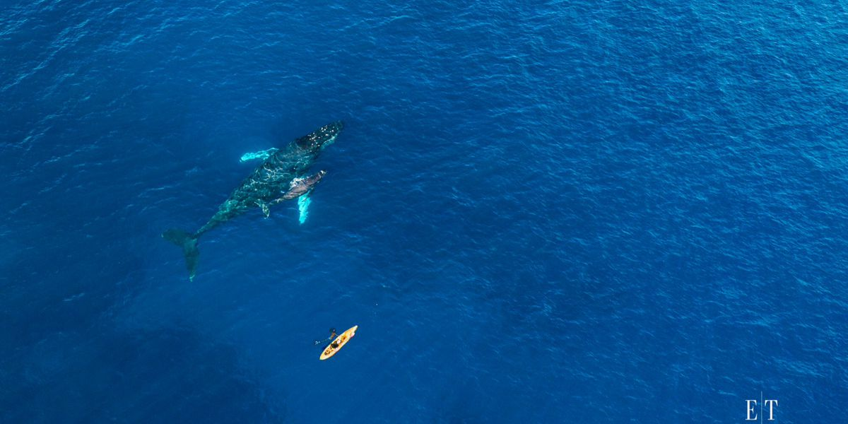 Incredible drone photo shows kayak near humpback whale and calf