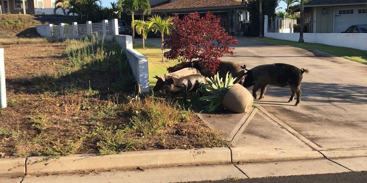 Herd of loose farm pigs tearing up Maui community