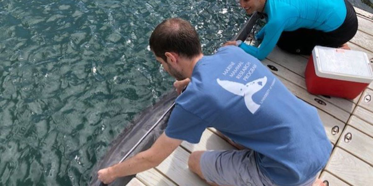 UH study uses dolphins in captivity to better understand their wild counterparts