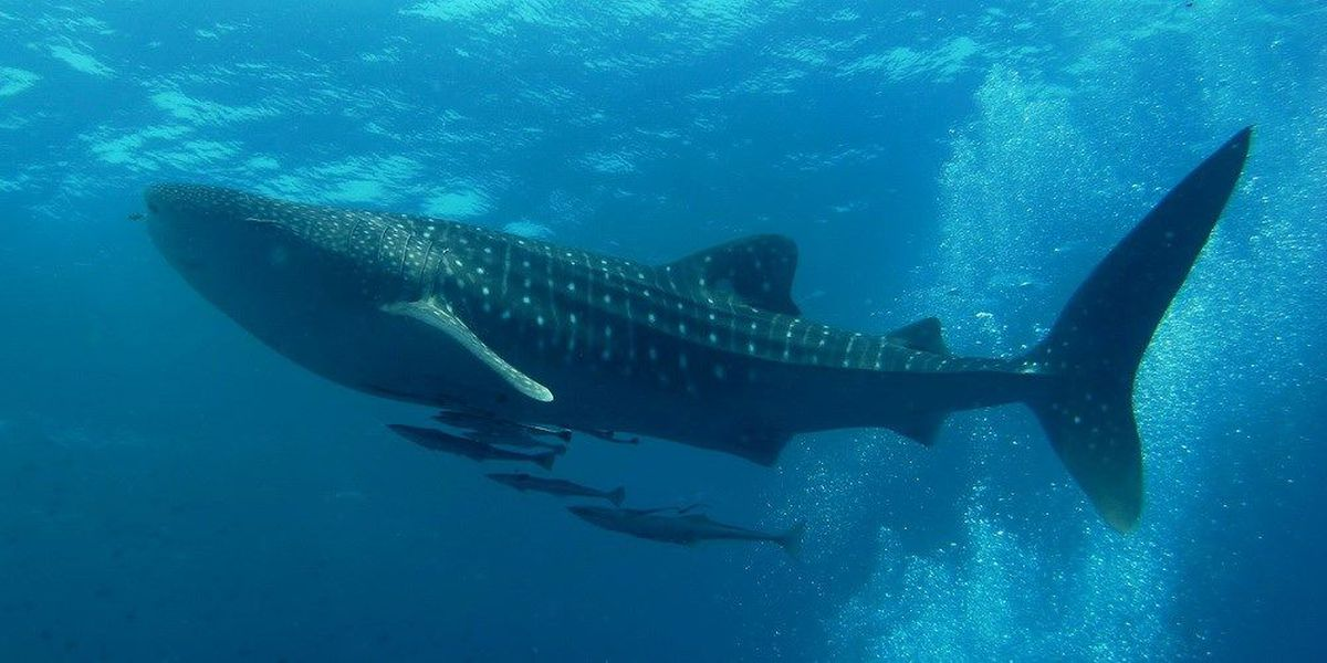 Hawaii whale shark study aims to create better protections