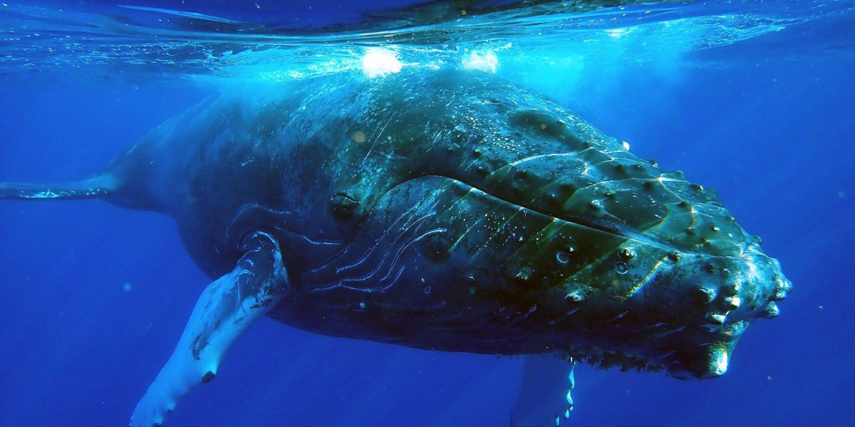 PHOTOS: Kayaks encounter humpback whale off Maui