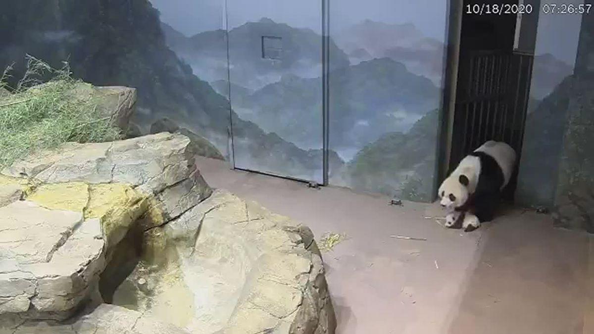 Panda mom shows cub around enclosure at National Zoo