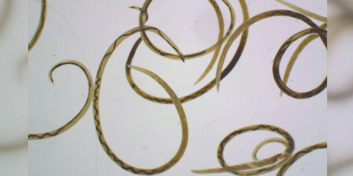 New case of rat lungworm disease confirmed in Hawaii