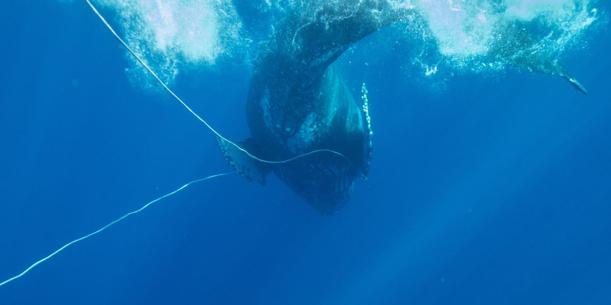 PHOTOS: Whale freed from entanglement off Maui