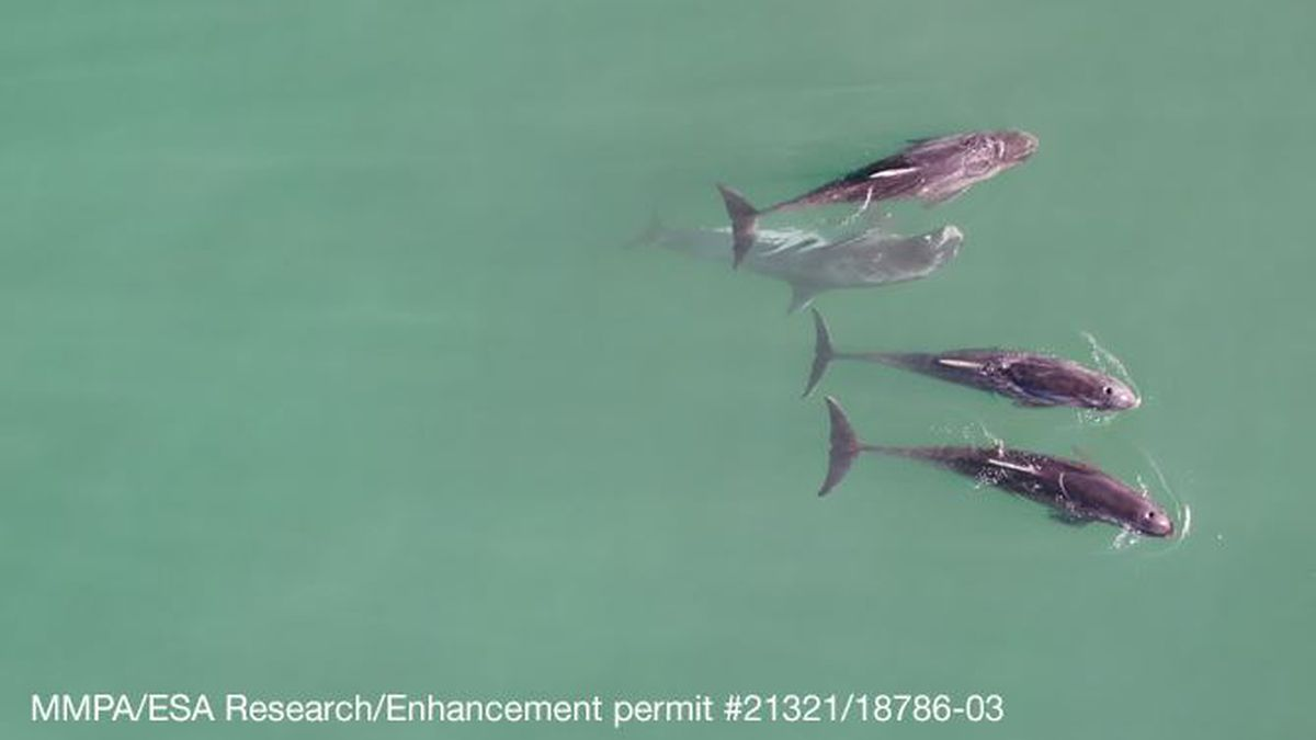 Researchers observed pygmy killer whales off Maui in 2019. The data was concerning