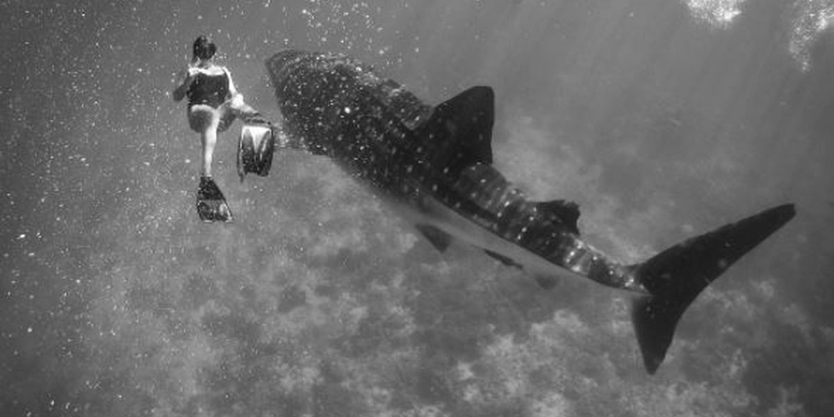 Snorkelers treated to rare sight of whale shark near Molokini Crater