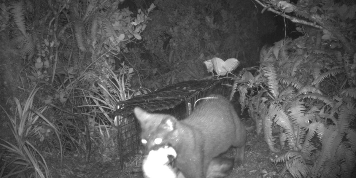 Feral cats eating endangered seabirds on Kauai