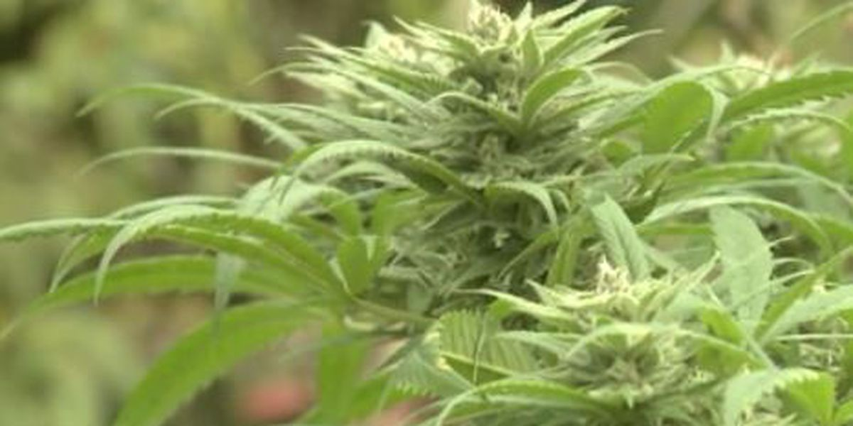 Oahu medical marijuana shop plants first seeds