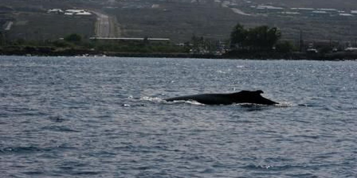First sighting of humpback whale marks beginning of season