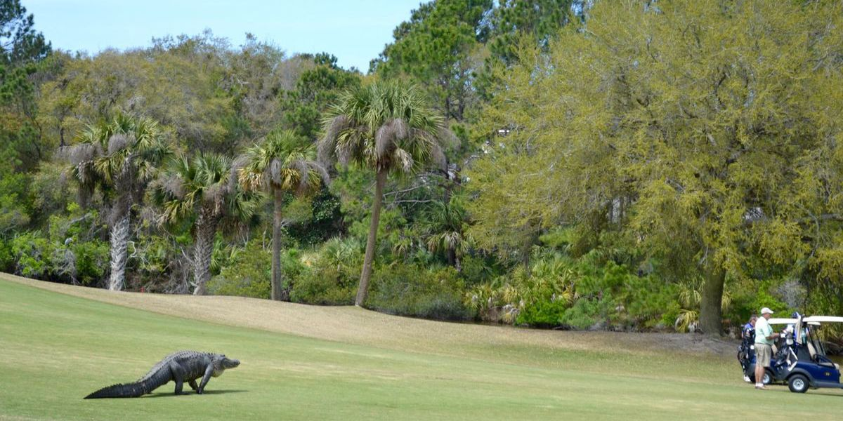 Monster gator sneaks up on golfers at SC course