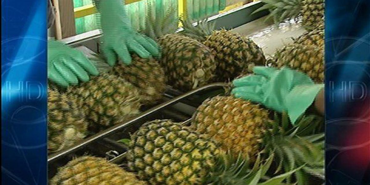 Maui Pineapple shutting down, laying off workers