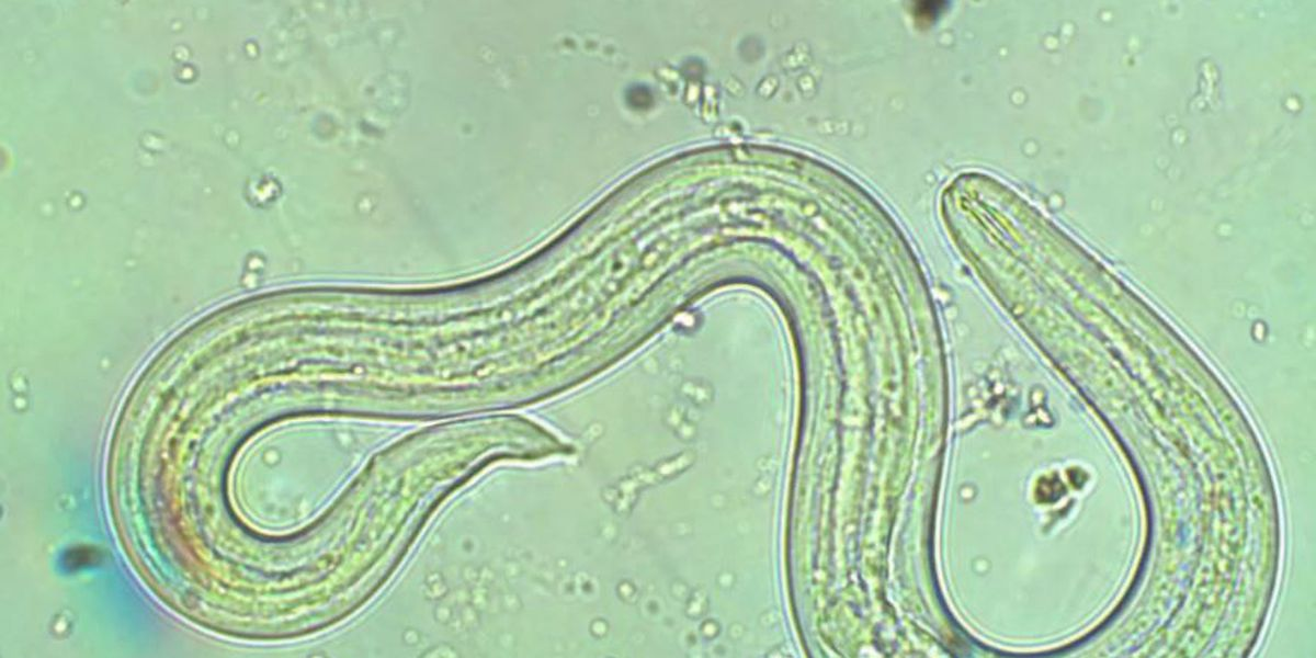 Hawaii lawmakers allocate funds for rat lungworm research