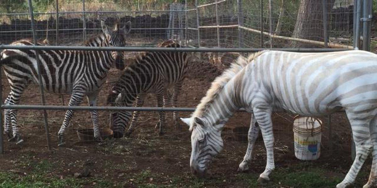 The last golden zebra in captivity dies in Kona at 19
