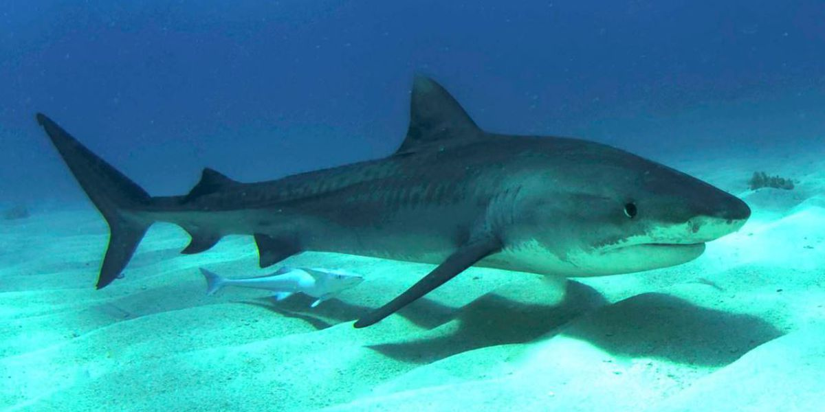 Study: Tiger sharks in Hawaii may be attracted to Maui's shallow waters