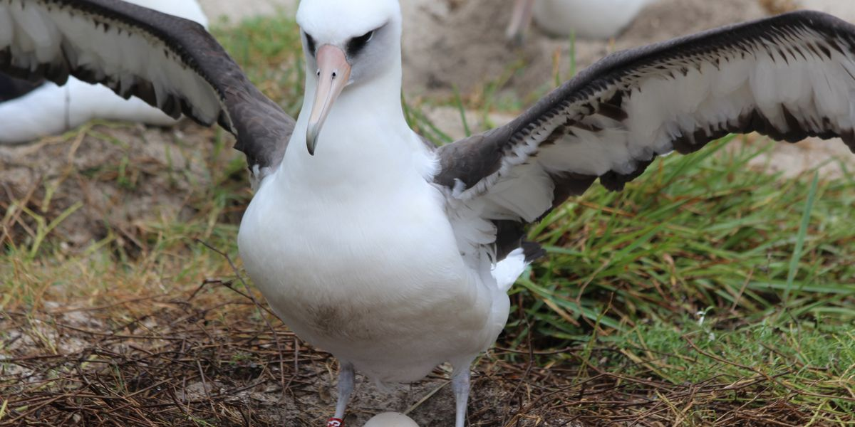 World's oldest known wild bird returns home to nest at Midway Atoll